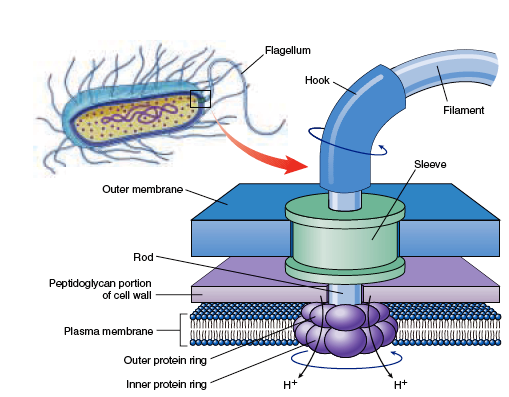 bacterial flagella in detail