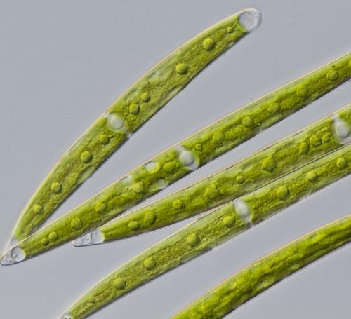 closterium strigosum