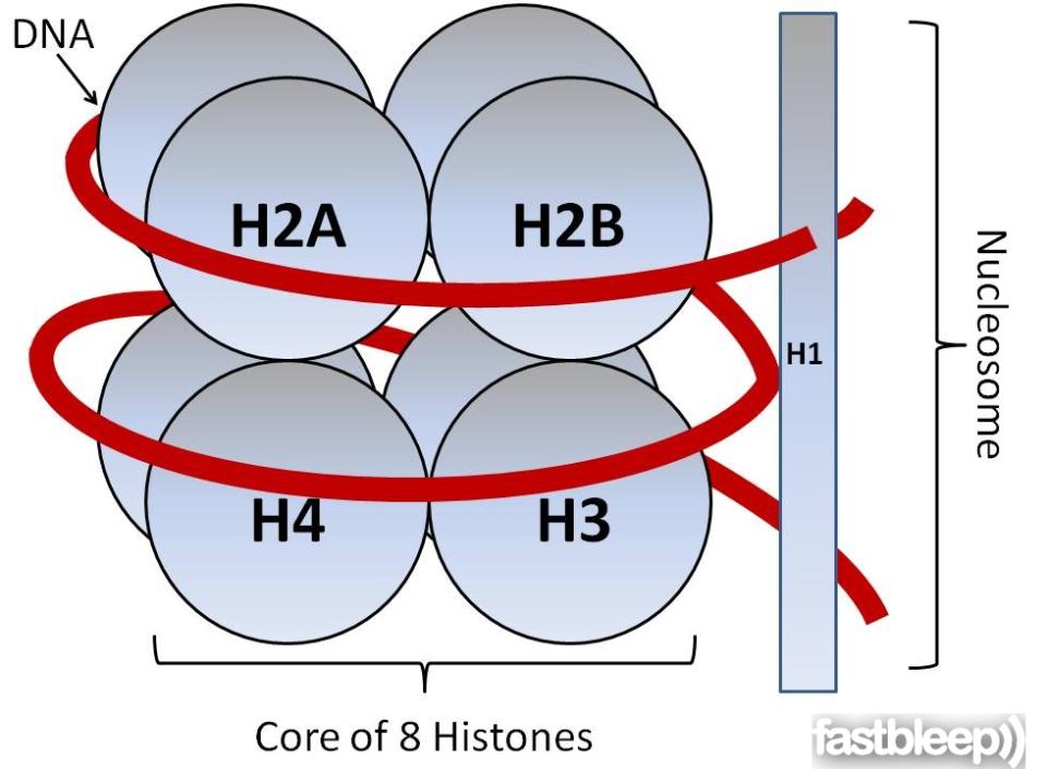 histona-1