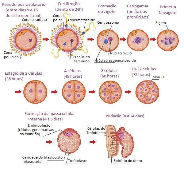 562a440a85d42-desenvolvimento-embrionario-humano-large.jpg